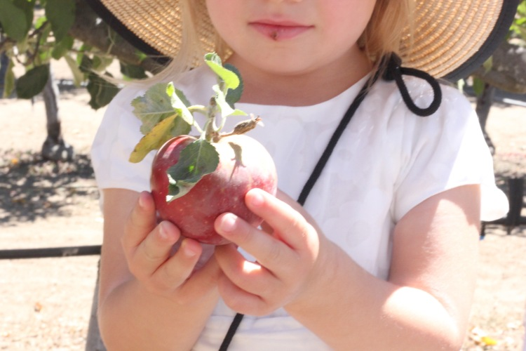 Apple picking with kids. Consecha de manazanas con ninos