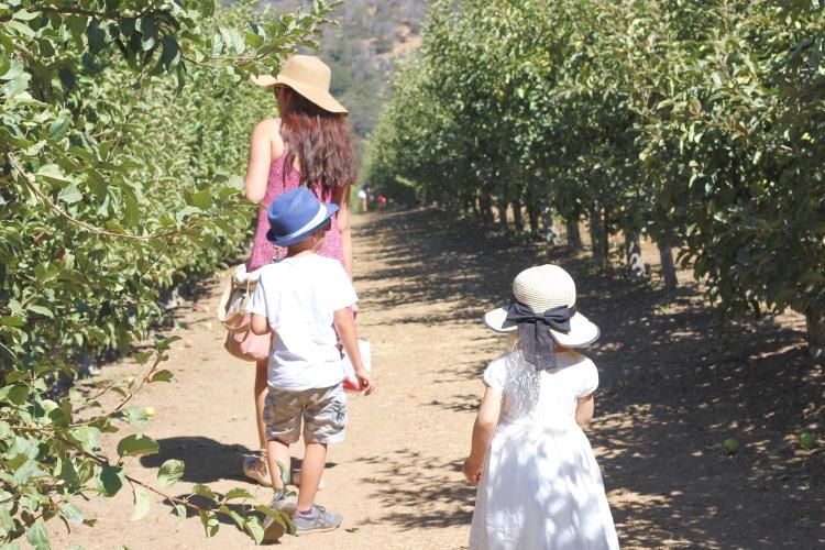 apple picking. Cosecha de manzanas con ninos