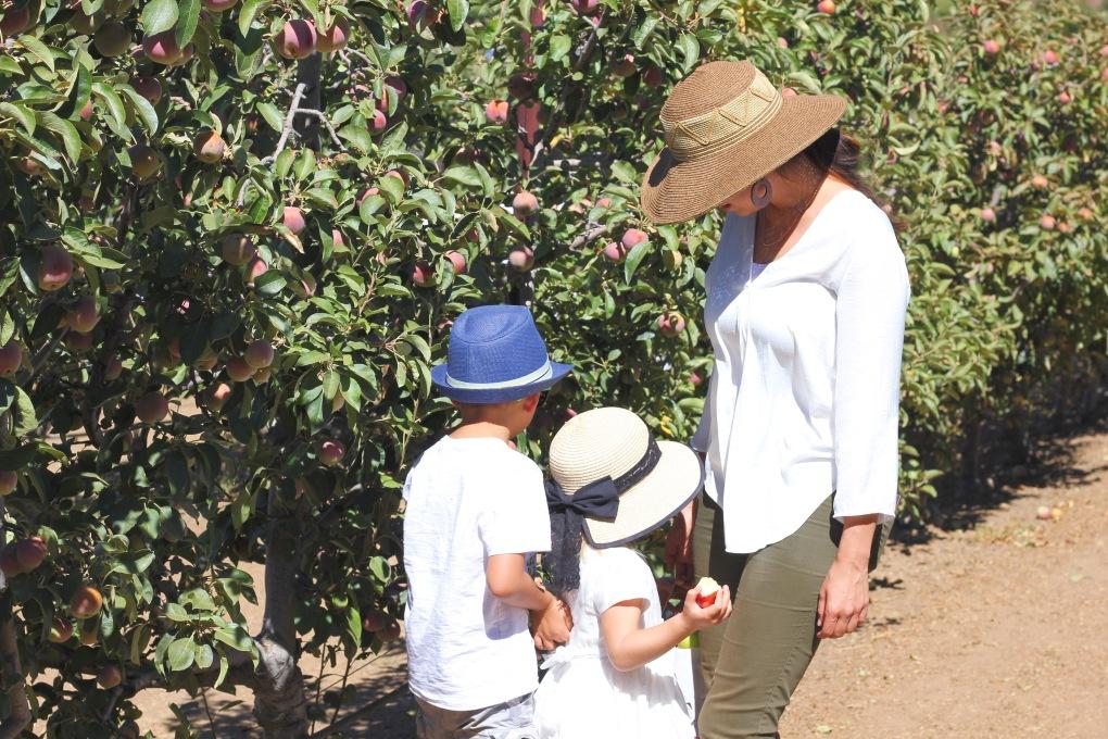 Apple picking with kids. Huerto de manzanas, cosecha con ninos.