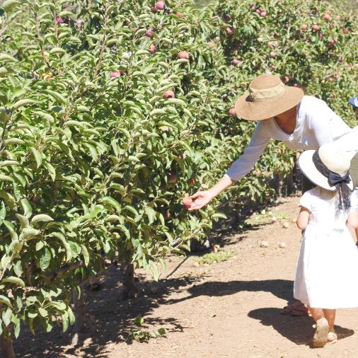 apple picking cosecha de manzanas en Julian
