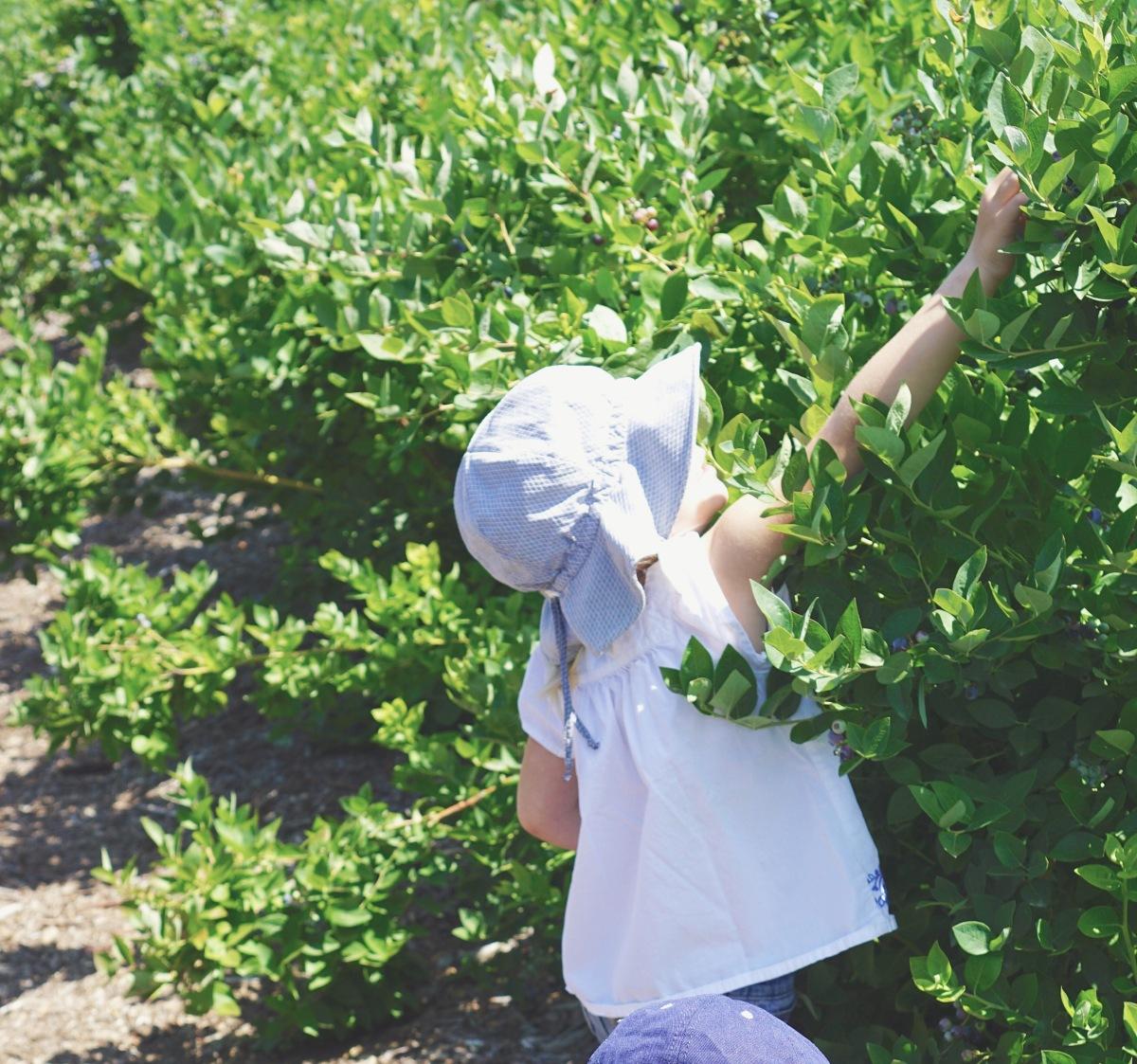 cosechando arándanos con ninos - blueberry pick u-pick