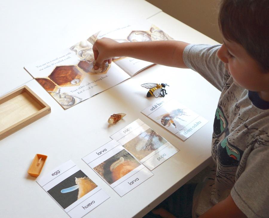 tarjetas imprimibles del ciclo de vida de una abeja