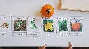 Montessori ciclo de vida de la calabaza con imágenes reales